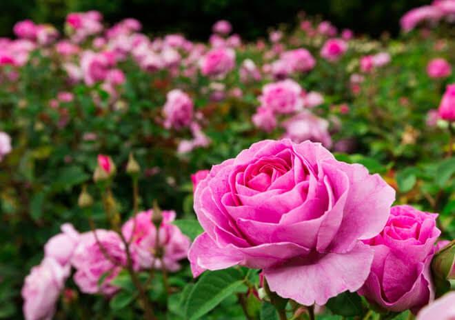 Perawatan Bunga Ros