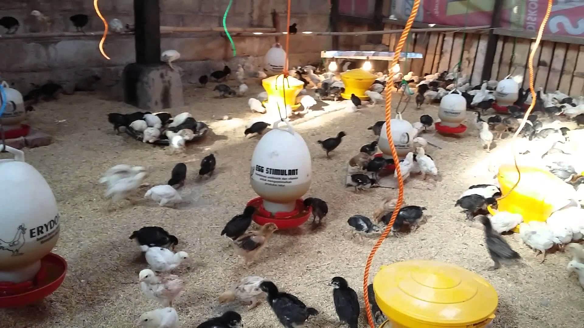 Berilah Asupan Pakan Ayam Joper yang Baik