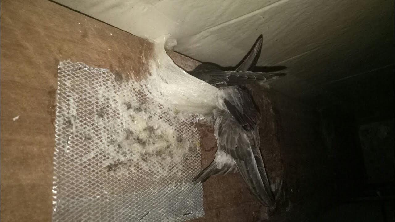 Kebiasaan Berkembang Biak Burung Walet
