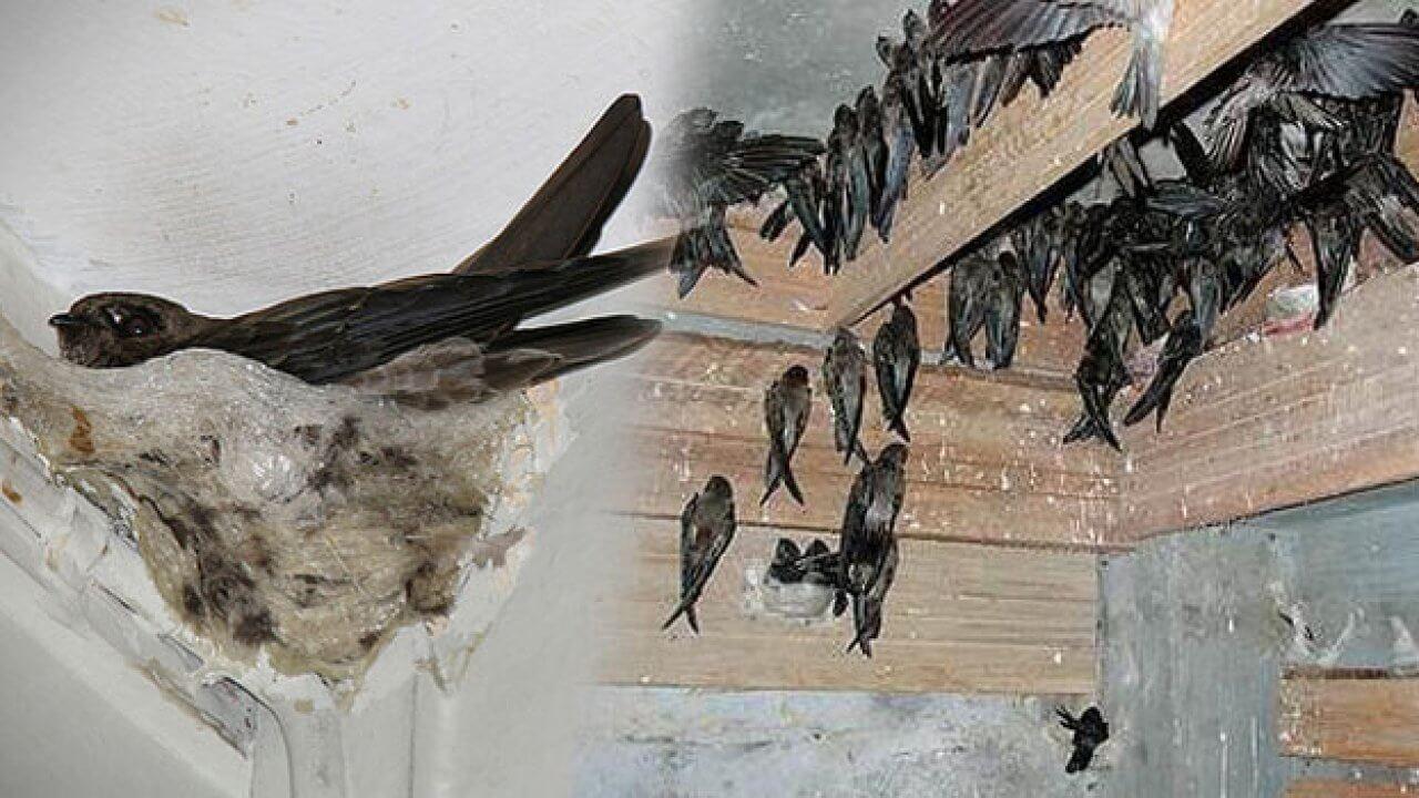 Kebiasaan Bersarang Burung Walet
