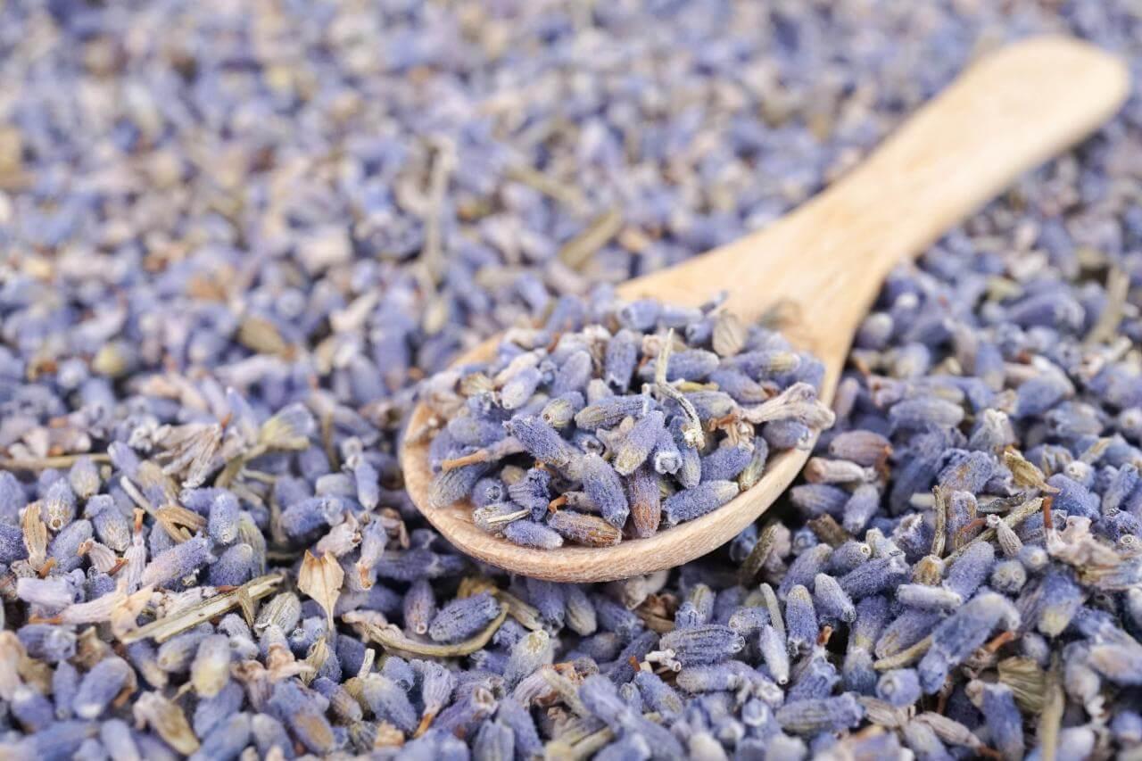 Menyiapkan Bibit Bunga Lavender