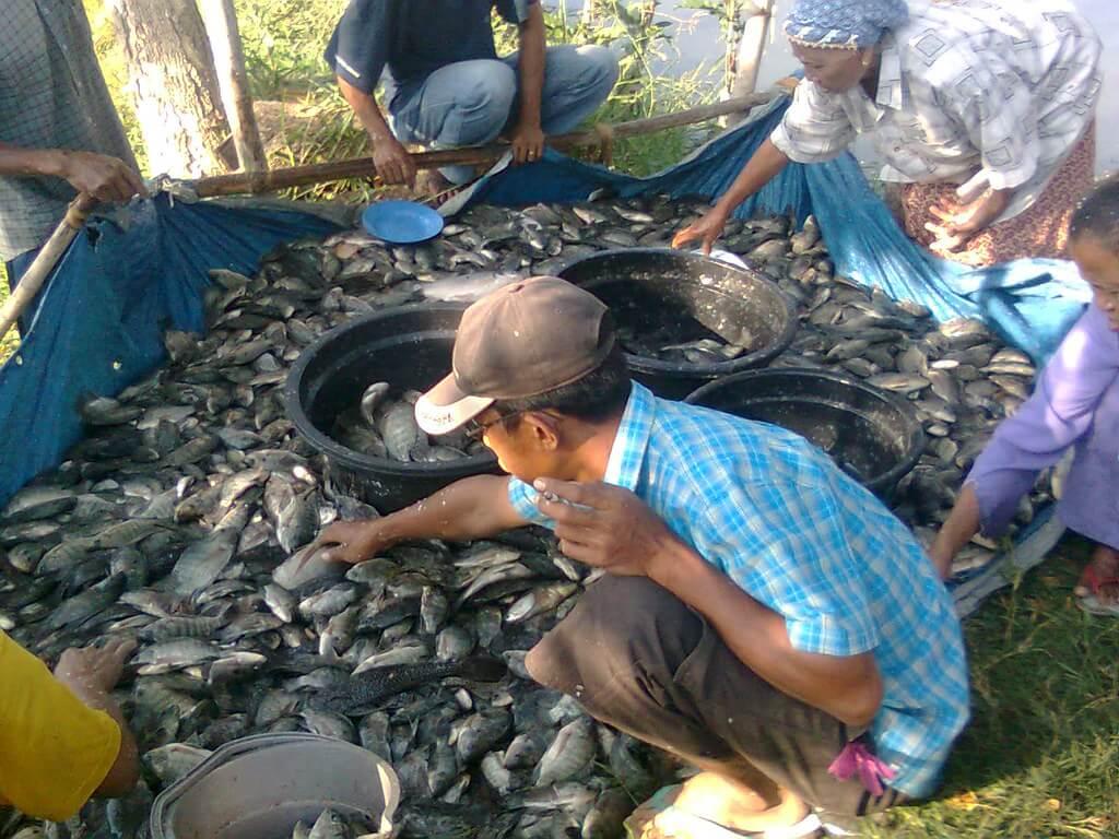 Budidaya Ikan Konsumsi Menjadi Bisnis yang Menjanjikan