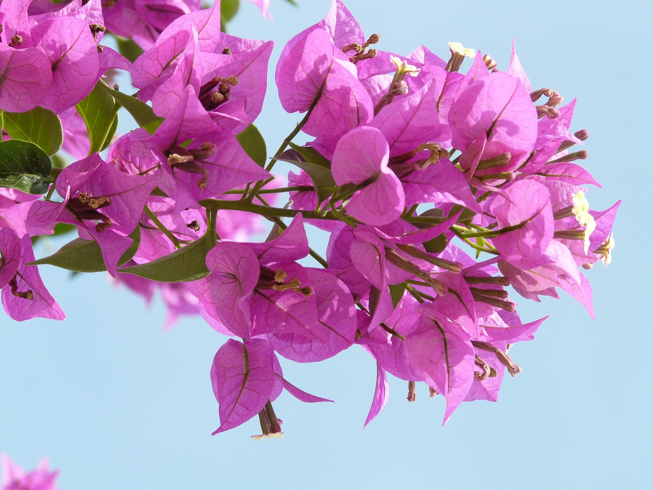 cara membuat bonsai bunga bougenville