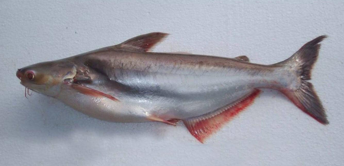 Memahami Lingkungan Hidup Alami Ikan Patin