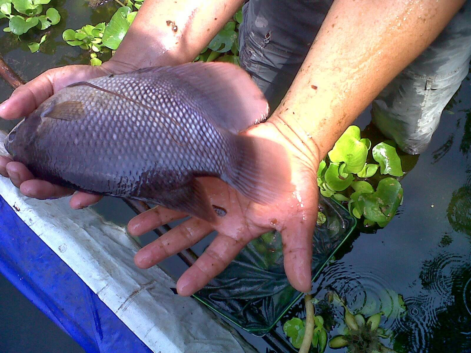 Cara Budidaya Pembesaran Ikan Gurame