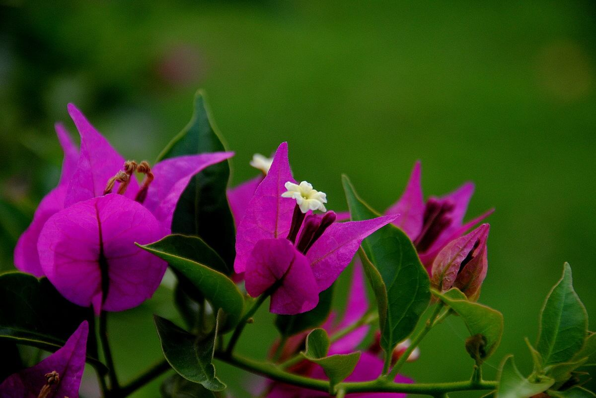 Tentang Bunga Bougenville