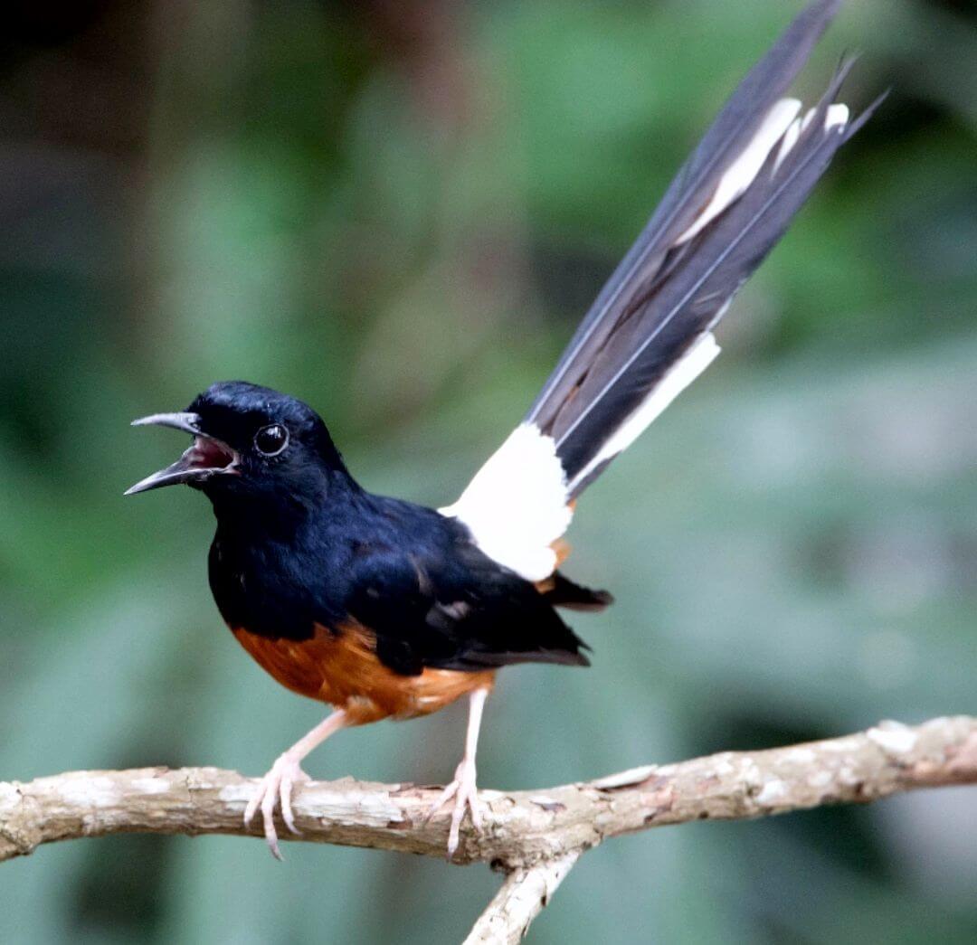 Memahami Perilaku Natural Burung Murai Batu Medan Saat Kawin