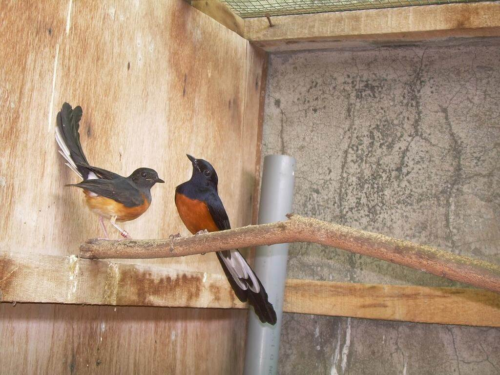 Cara Budidaya Burung Murai Baru Medan Agar Telurnya Menetas