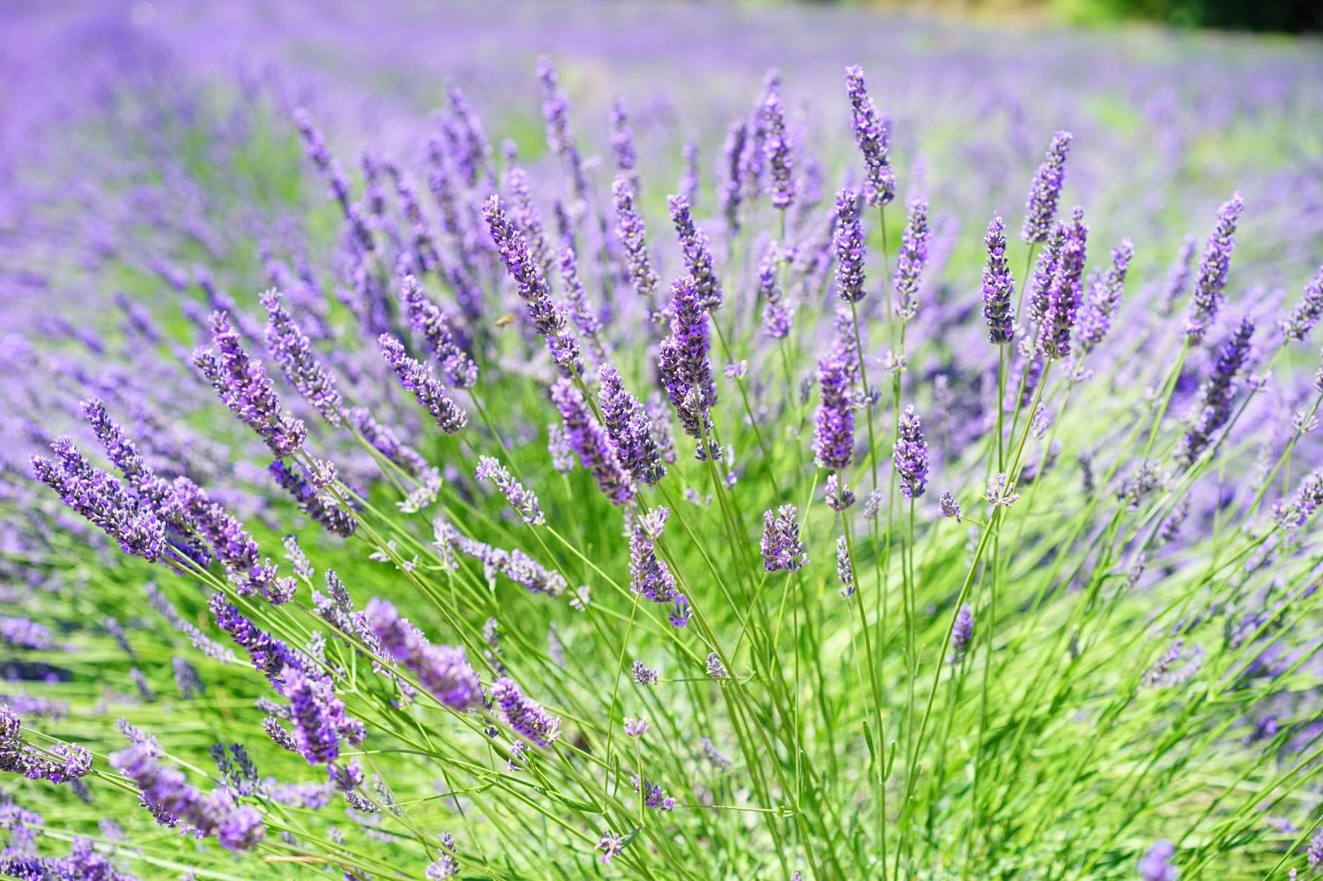 Cara Menanam Lavender yang Baik dan Benar