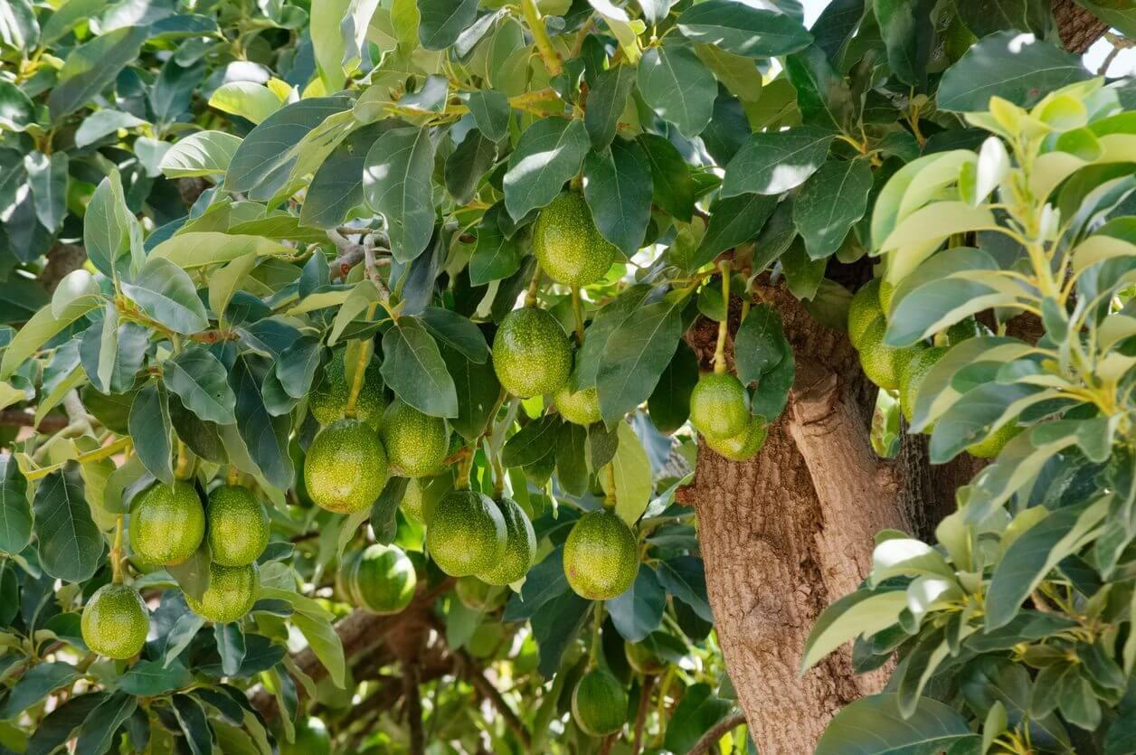 Cara Merawat Pohon Alpukat Agar Cepat Berbuah