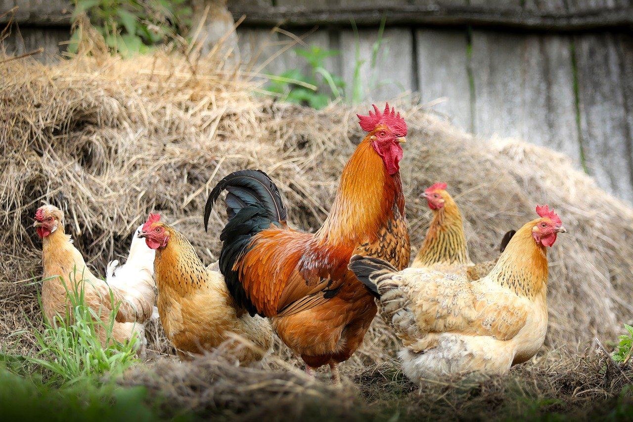 Cara Mengatasi Hama Gurem Pada Ayam