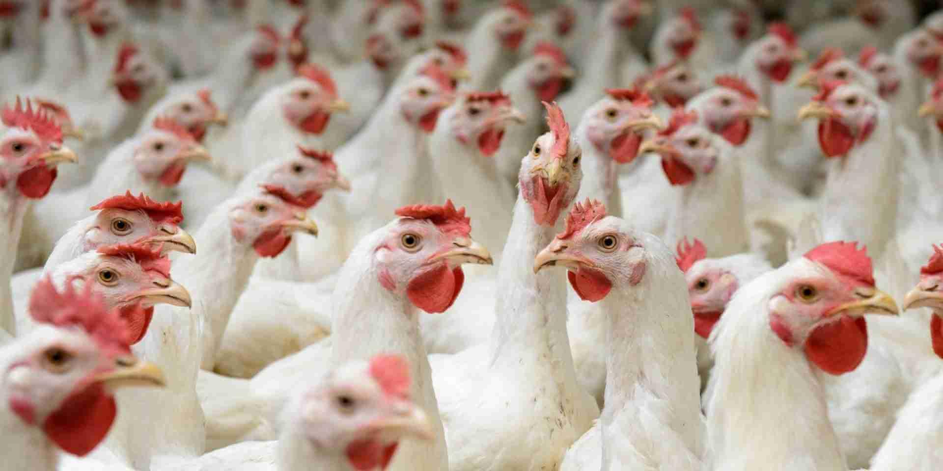 Bagaimana Gurem Bisa Menyerang Ayam?