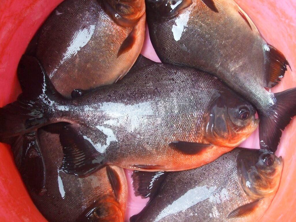ikan konsumsi bawal