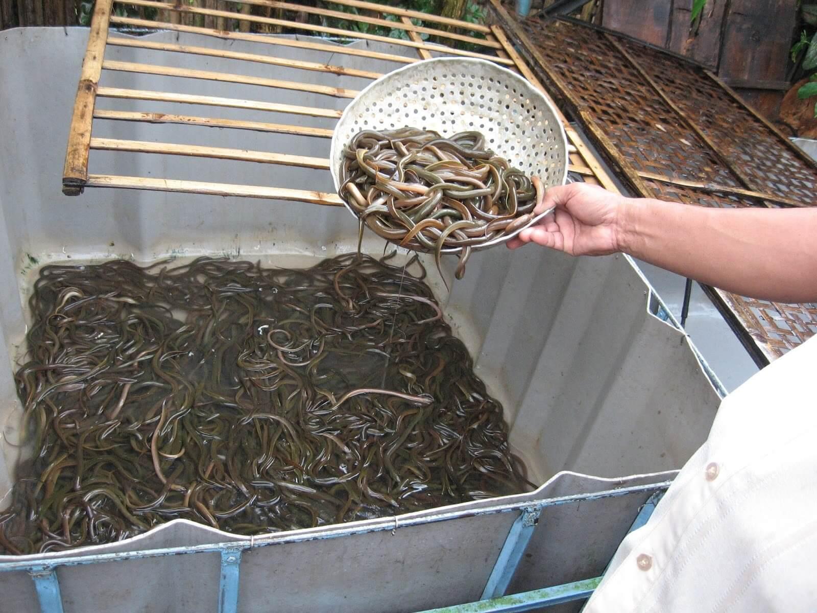 ikan konsumsi belut