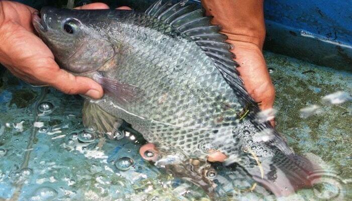 ikan konsumsi gurame