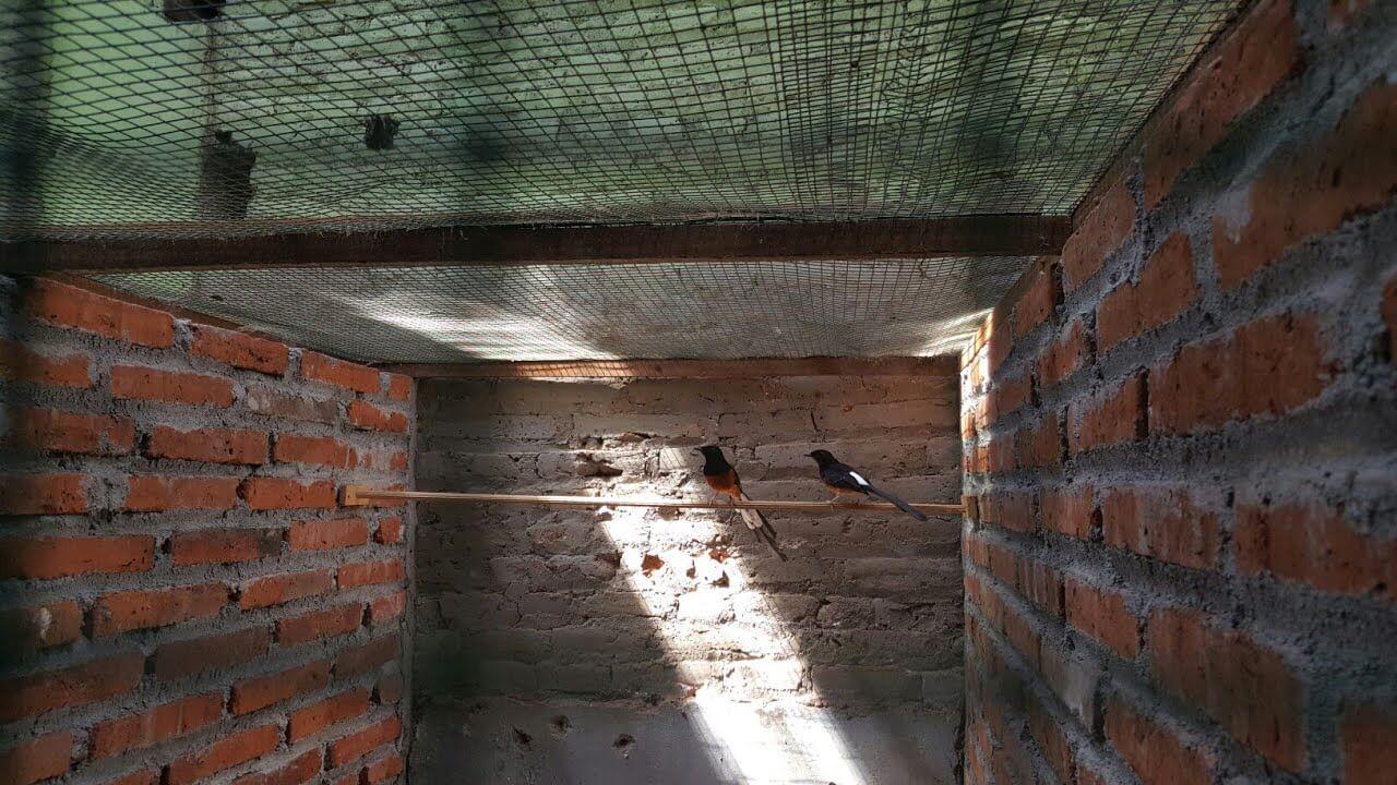 Memilih Indukan Burung Murai Batu Medan Yang Baik