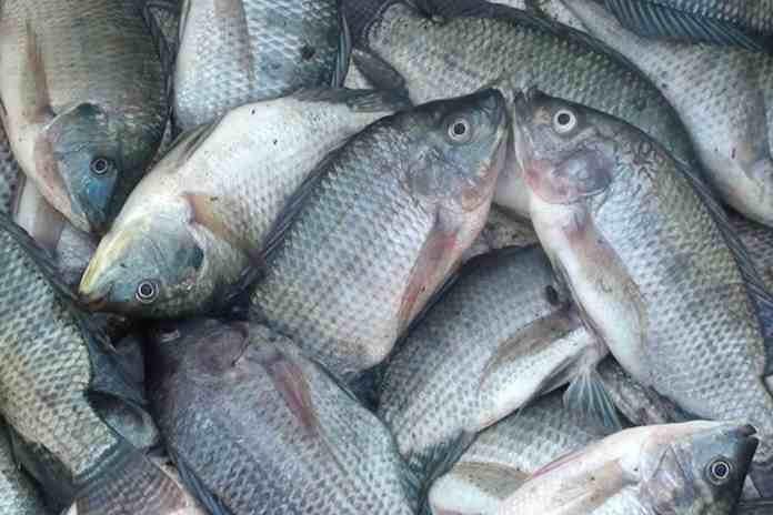 Jenis IkaN yang Termasuk Budidaya Ikan Konsumsi