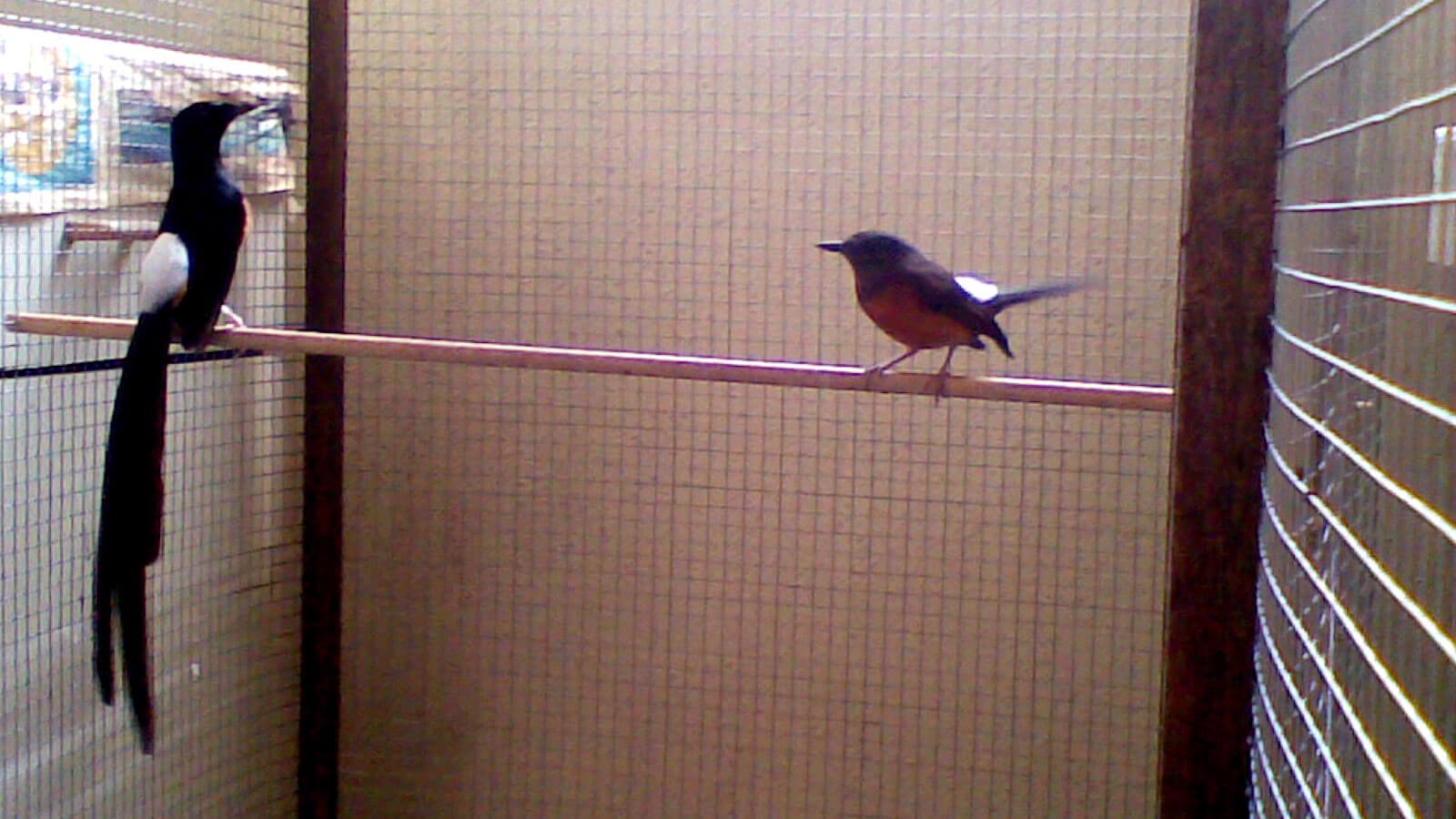 Desain Kandang Burung Murai Batu Medan Yang Kondusif Untuk Berkembang Biak