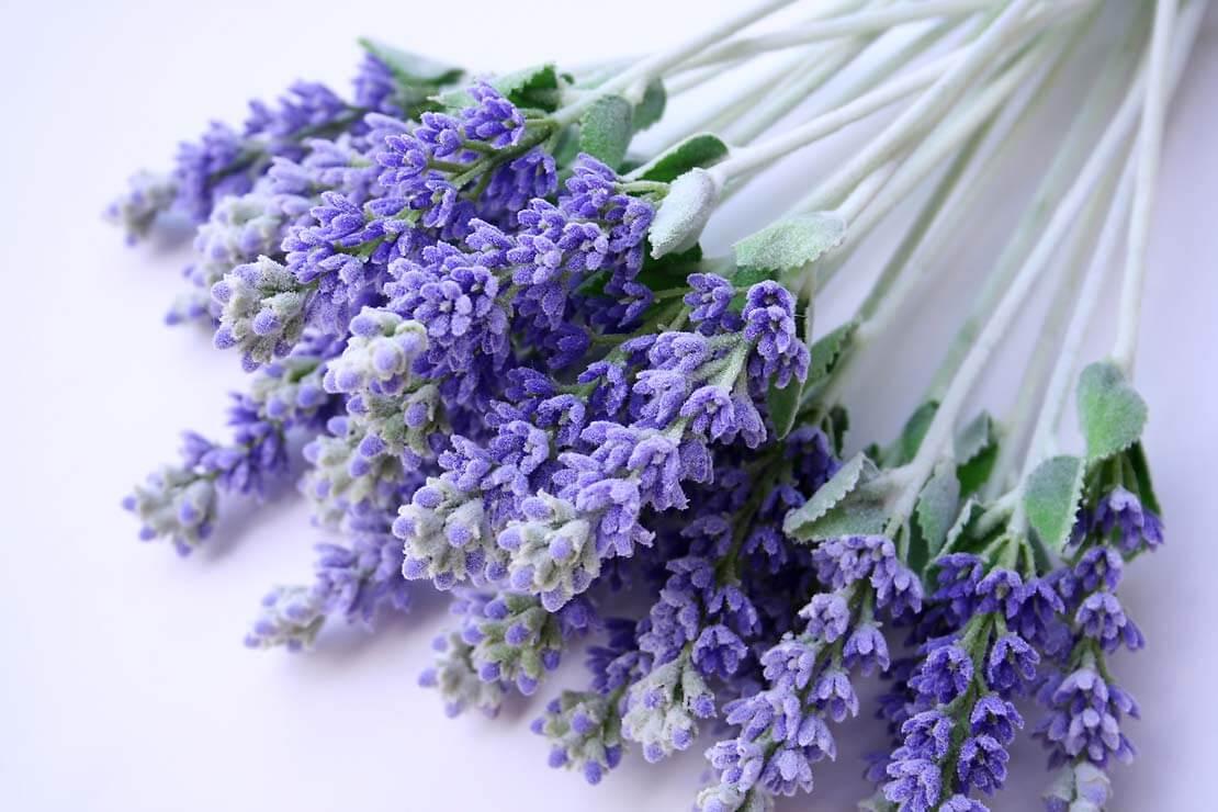 Karakteristik Bunga Lavender