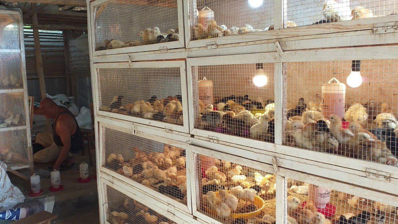 Wajib Menjaga Kebersihan Kandang Ayam Joper