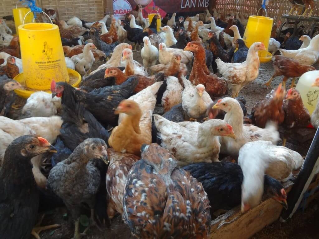 Keuntungan Membudidaya Ayam Joper
