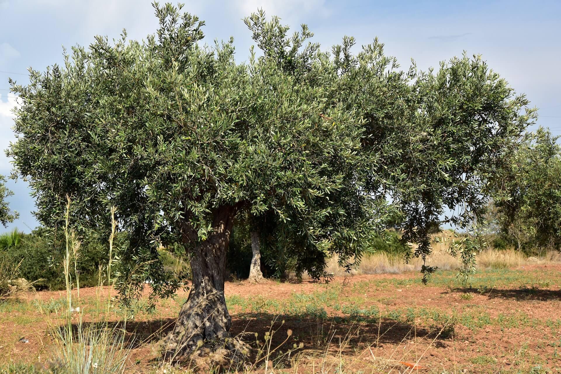 Persiapkan Lahan Pohon Zaitun