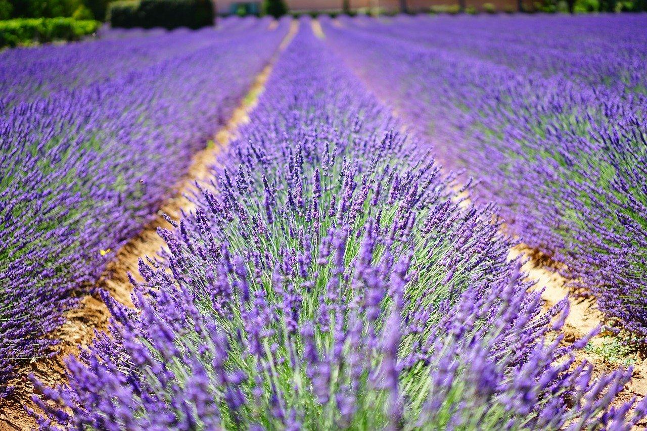 cara menanam bunga lavender