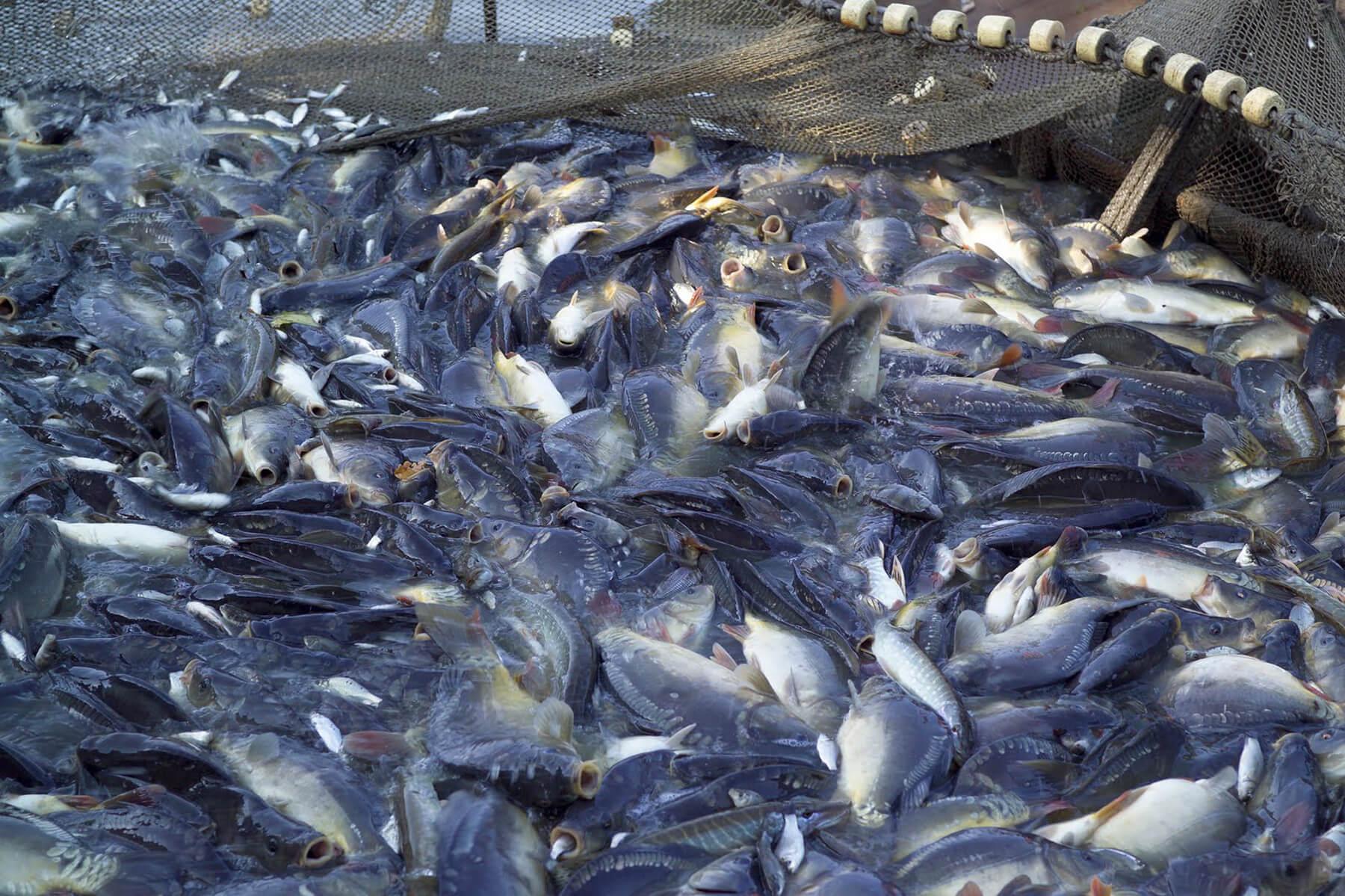 Manfaat Melakukan Budidaya Ikan Konsumsi