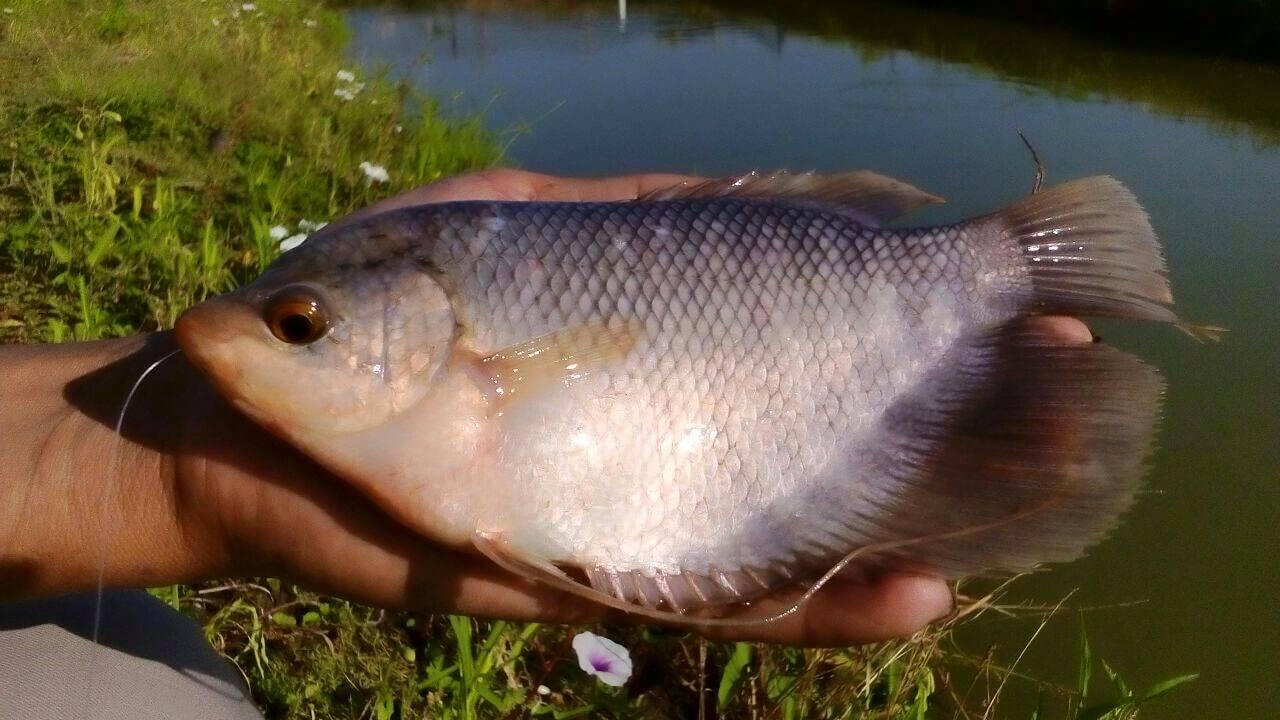 Dikenal Lebih Murah dan Mudah dalam Budidaya Pembesaran Ikan Gurame