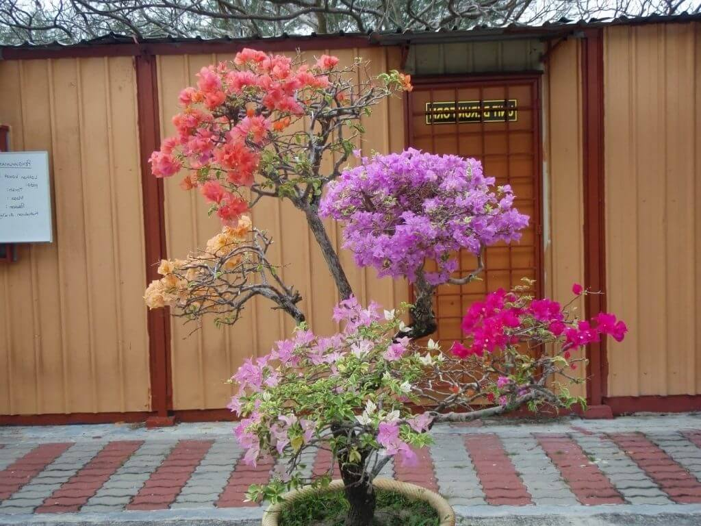 Proses Pangkas, Merapikan, dan Menyiangi Bonsai Bunga Bougenville