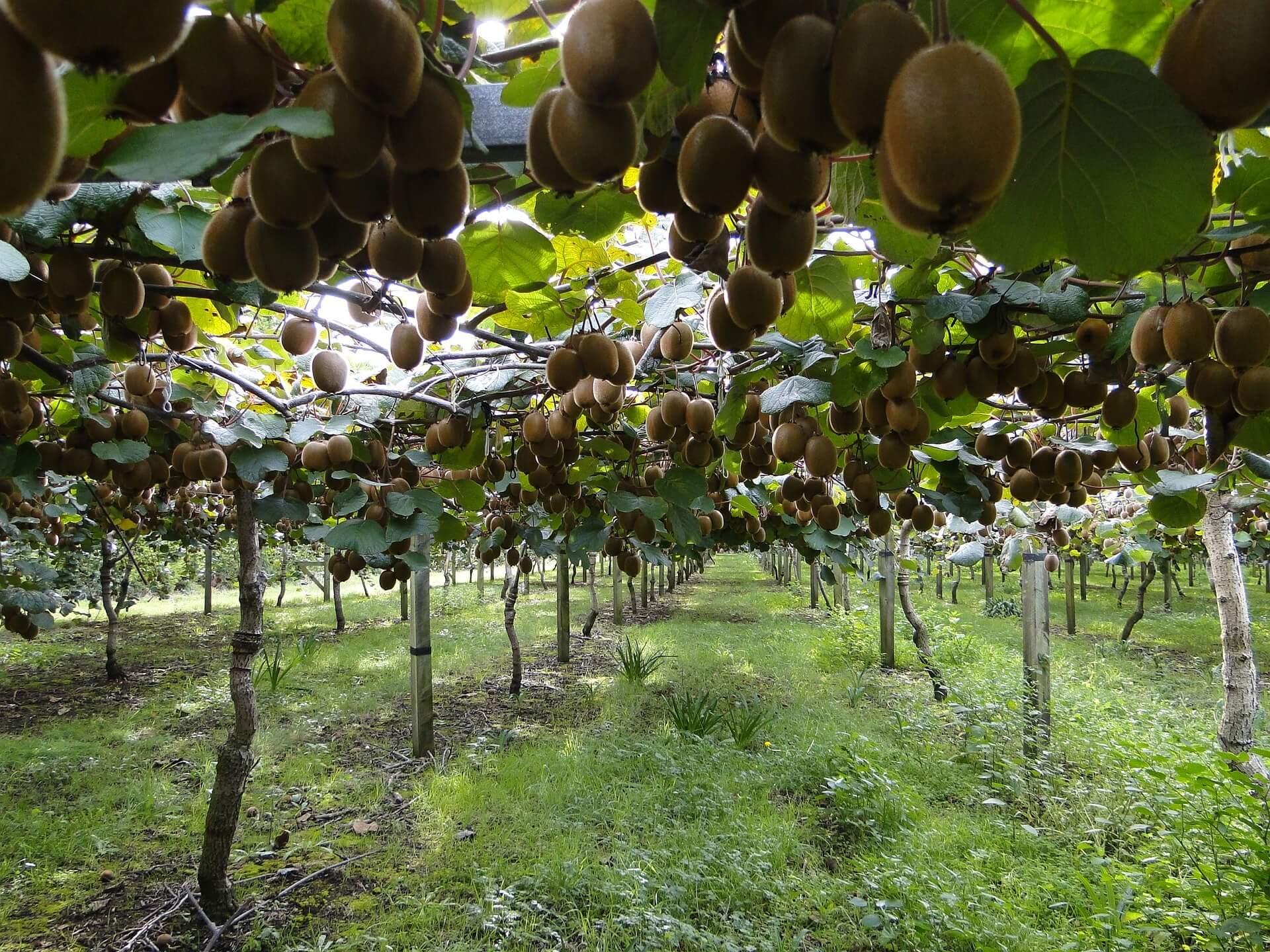 Pasca Panen, Pohon Kiwi Harus Dirawat