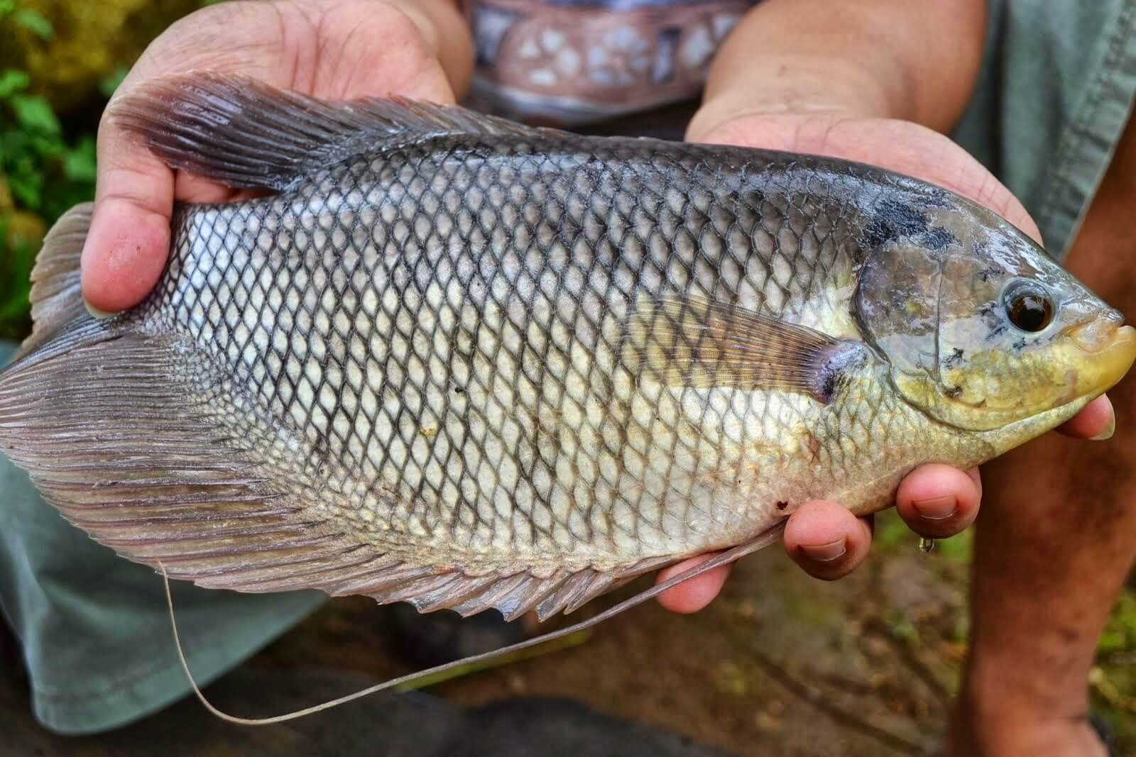 Ikan Gurame Merupakan Komoditas Ikan yang Banyak Diminati