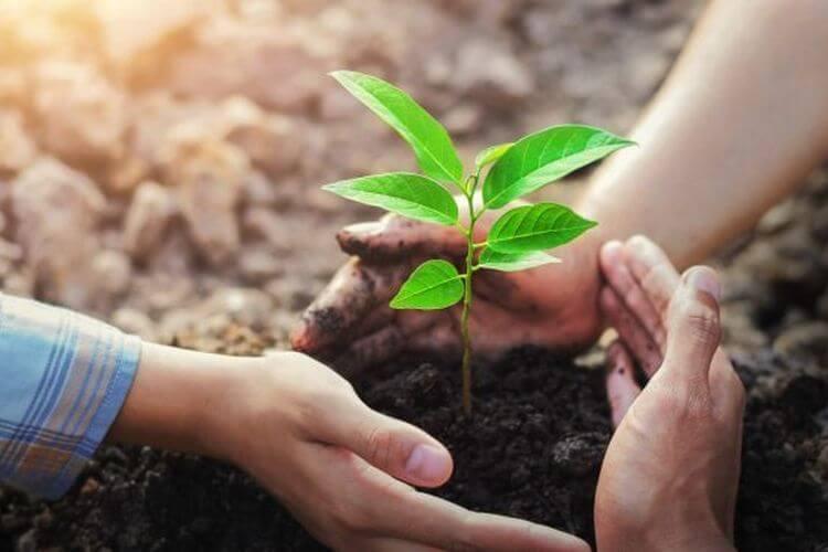 Lakukan Penanaman Pohon Zaitun