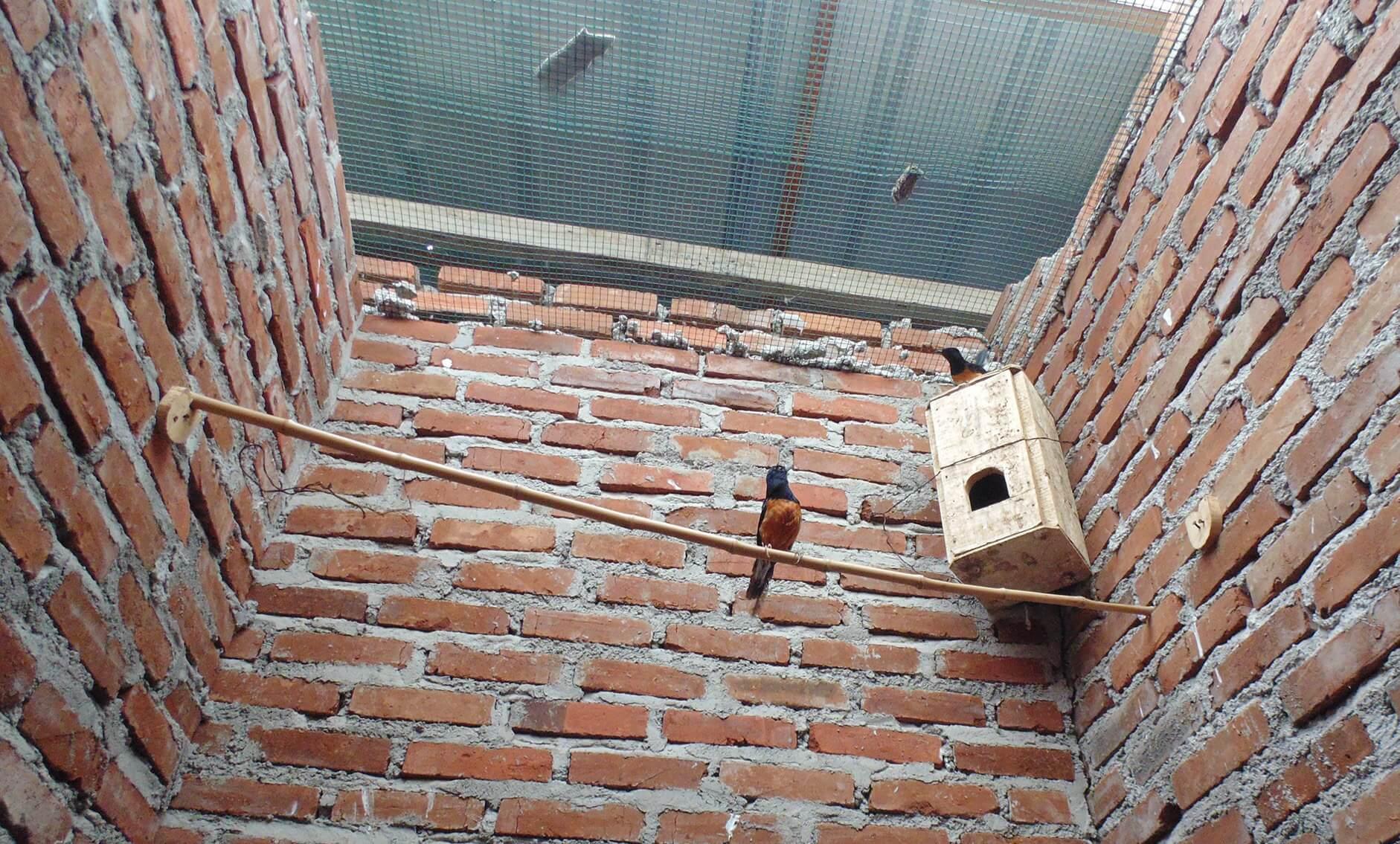 Mengawal Proses Pengeraman Burung Murai Batu Medan