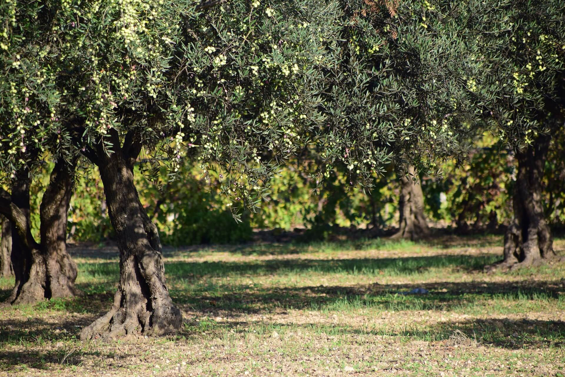 Lakukan Perawatan Pohon Zaitun yang Sudah Ditanam