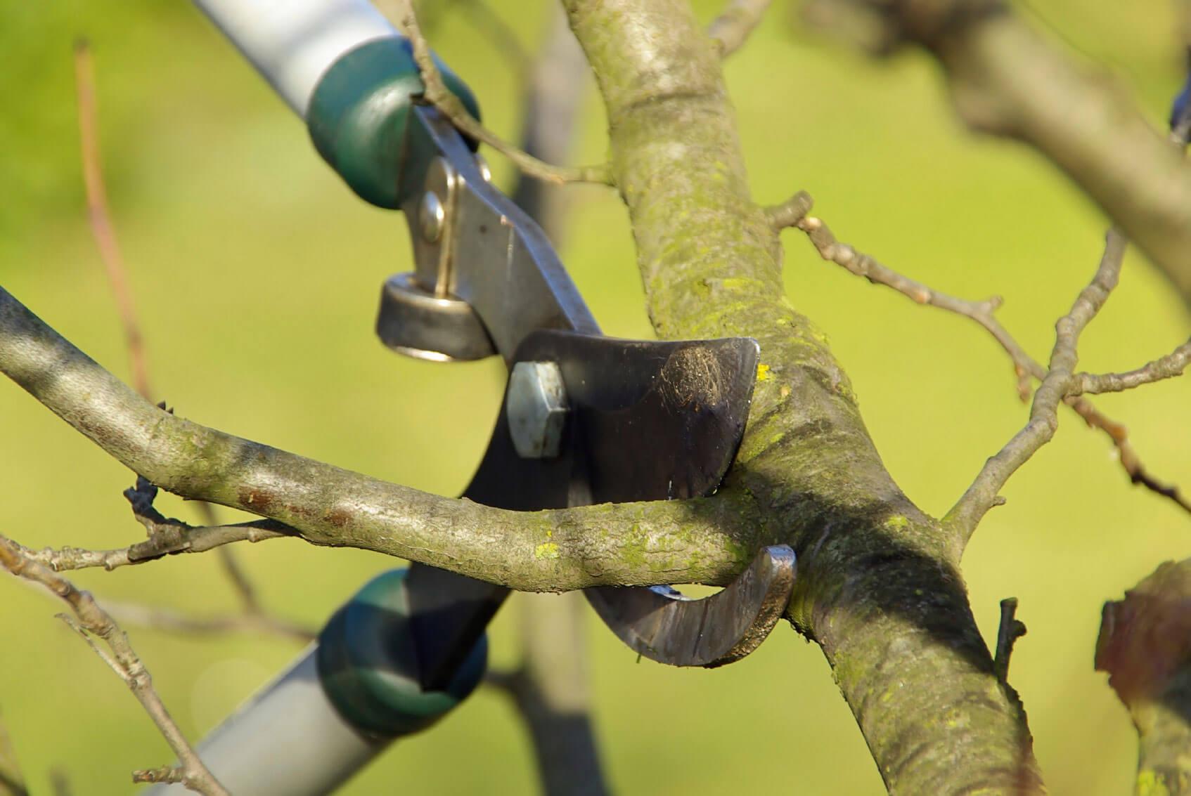 Lakukan Pemangkasan  Untuk Merawat Pohon Alpukat