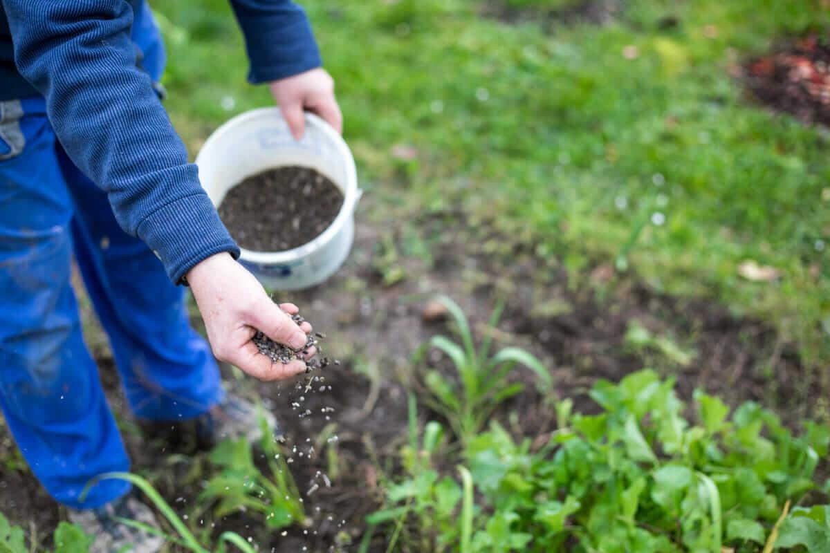 Pemupukan dan Penyiangan Bunga Lavender