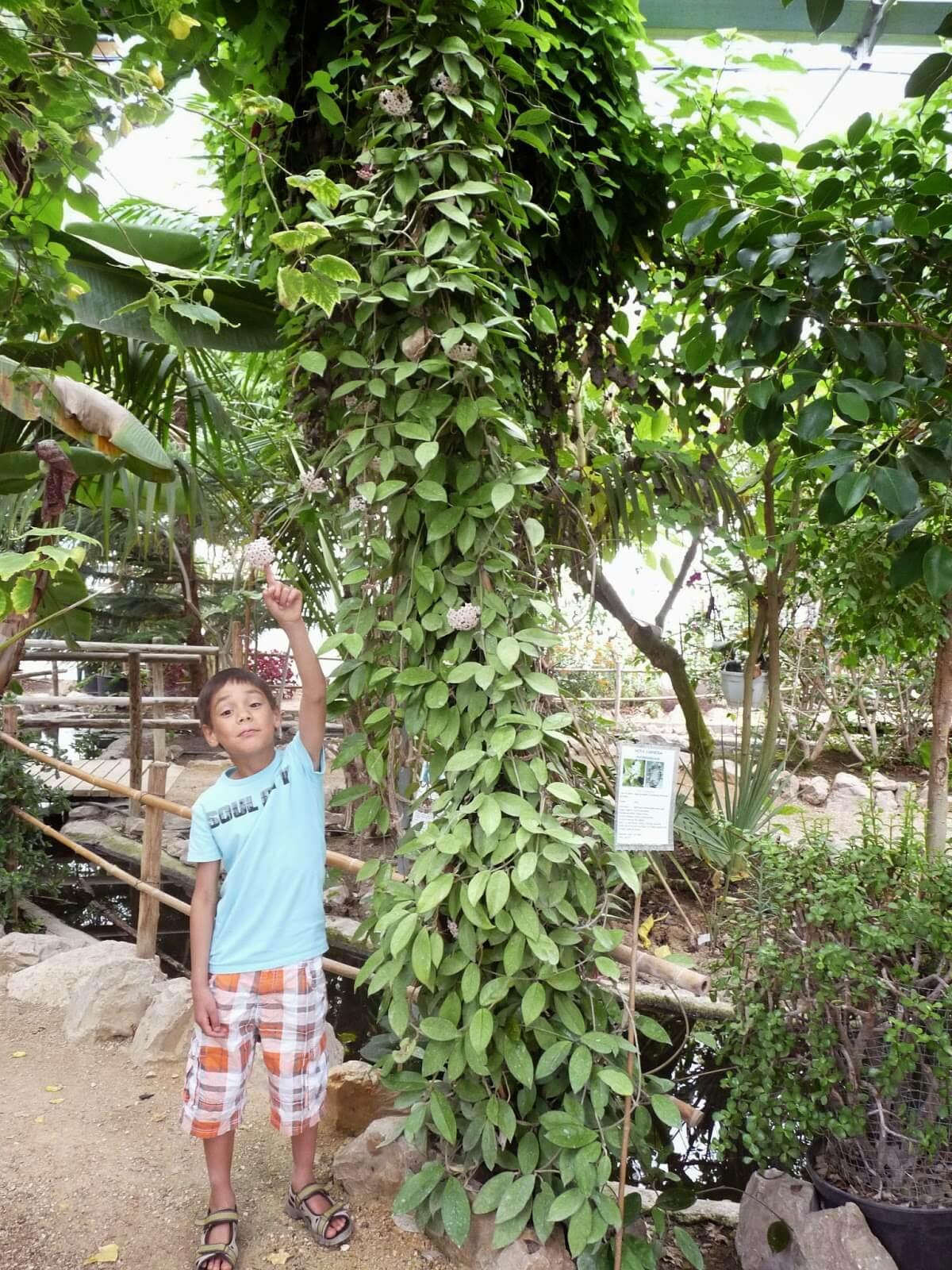 Tanaman Rambat Hoya