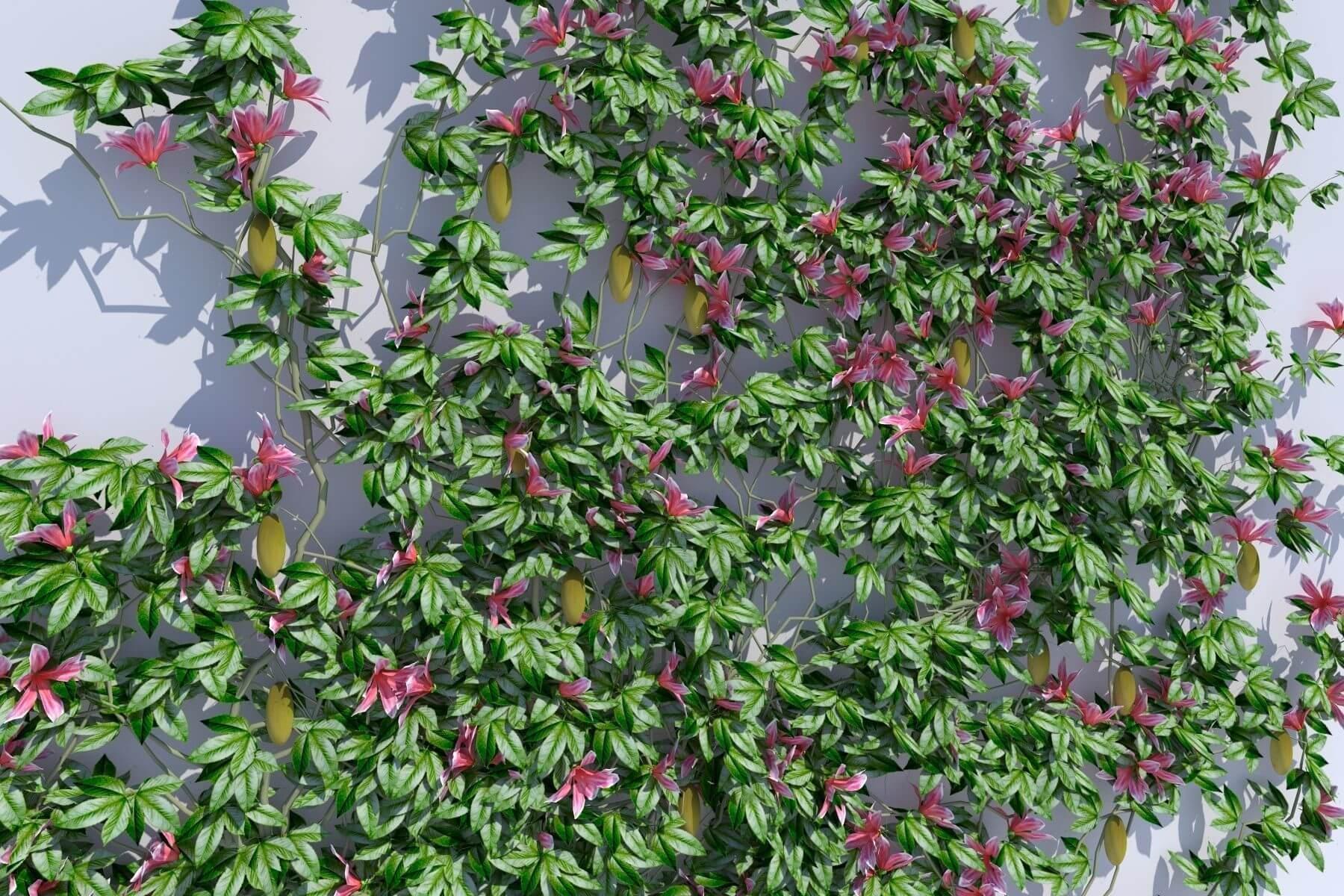 Tanaman Rambat Passiflora