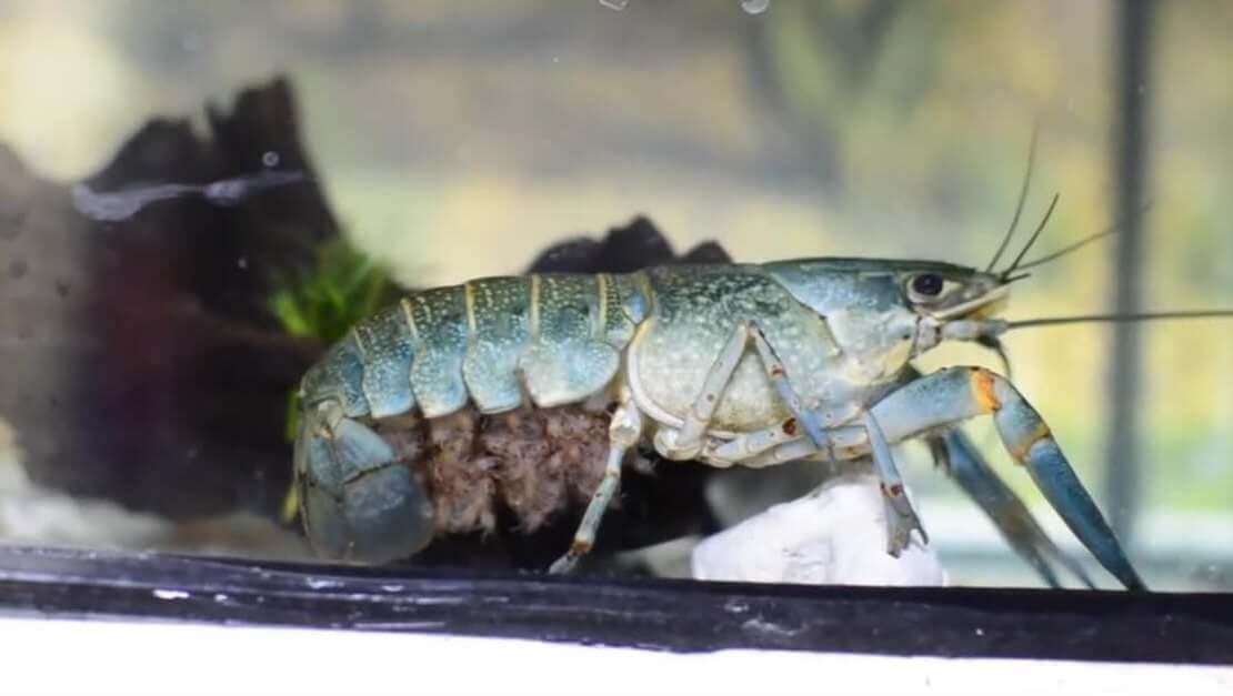 Cara Budidaya Udang Air Tawar di Aquarium