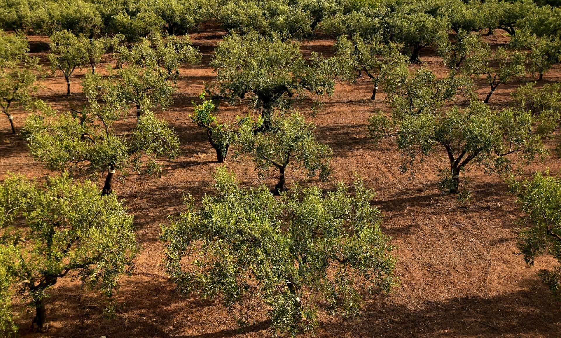 Pilih Waktu yang Tepat Untuk Pemanenan Pohon Zaitun