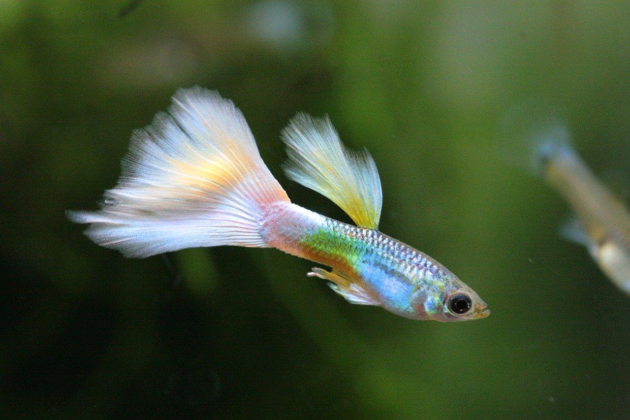 Cara Budidaya Ikan Aquaponik
