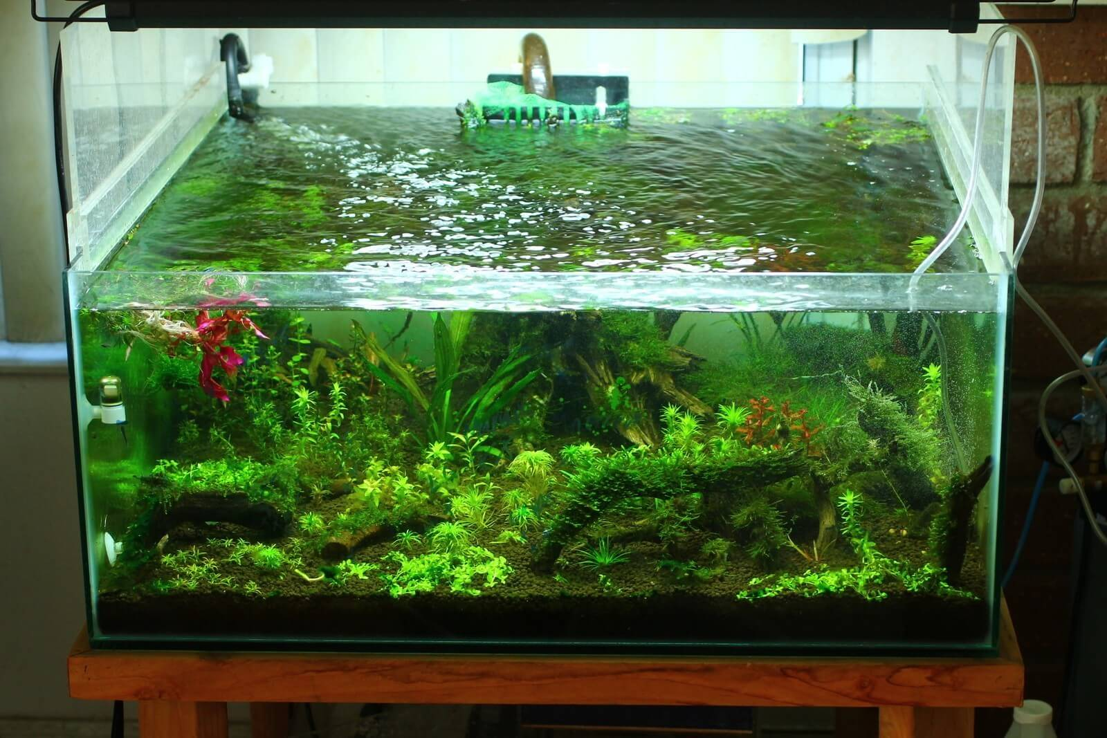 cara menanam tanaman hairgrass aquascape