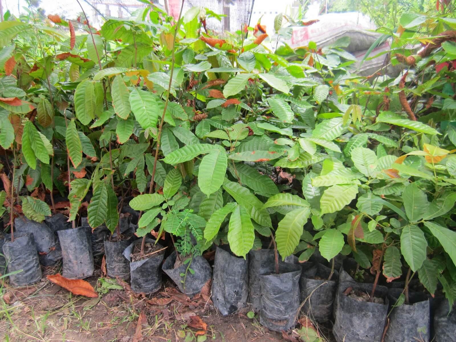 menanam matoa agar cepat berbuah