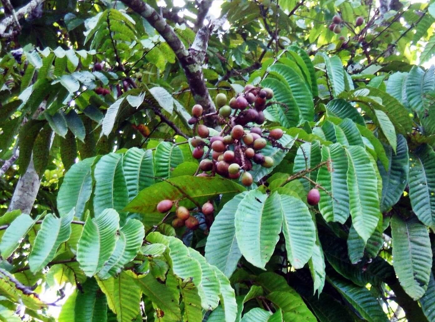 cara menanam matoa cepat berbuah