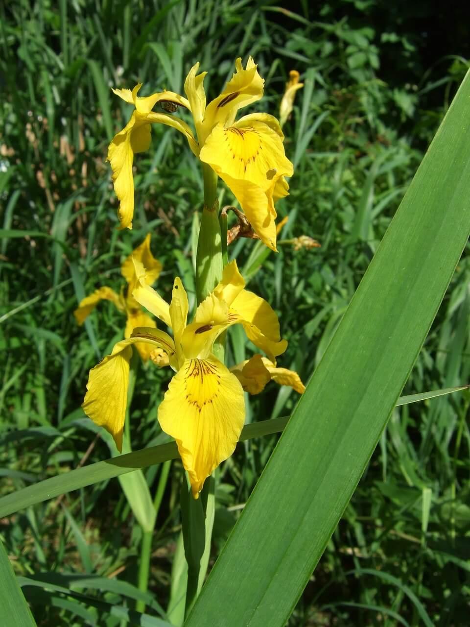 gambar bunga iris kuning