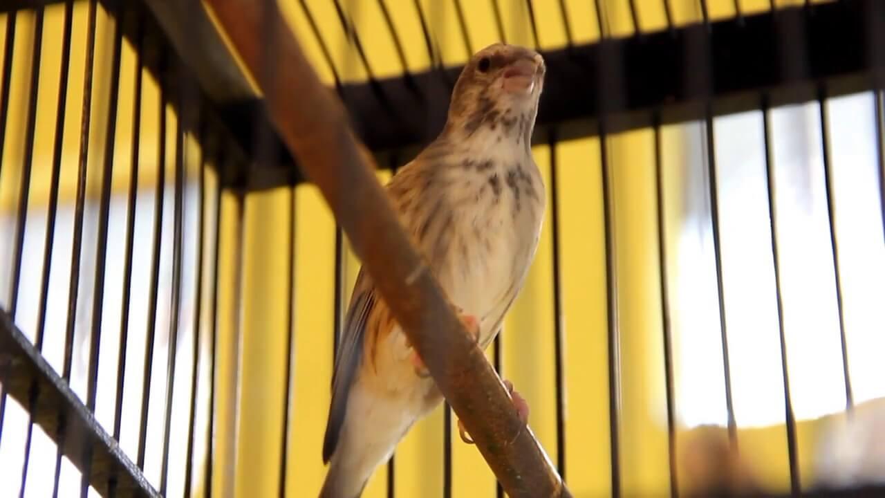 Cara Budidaya Burung Blackthroat