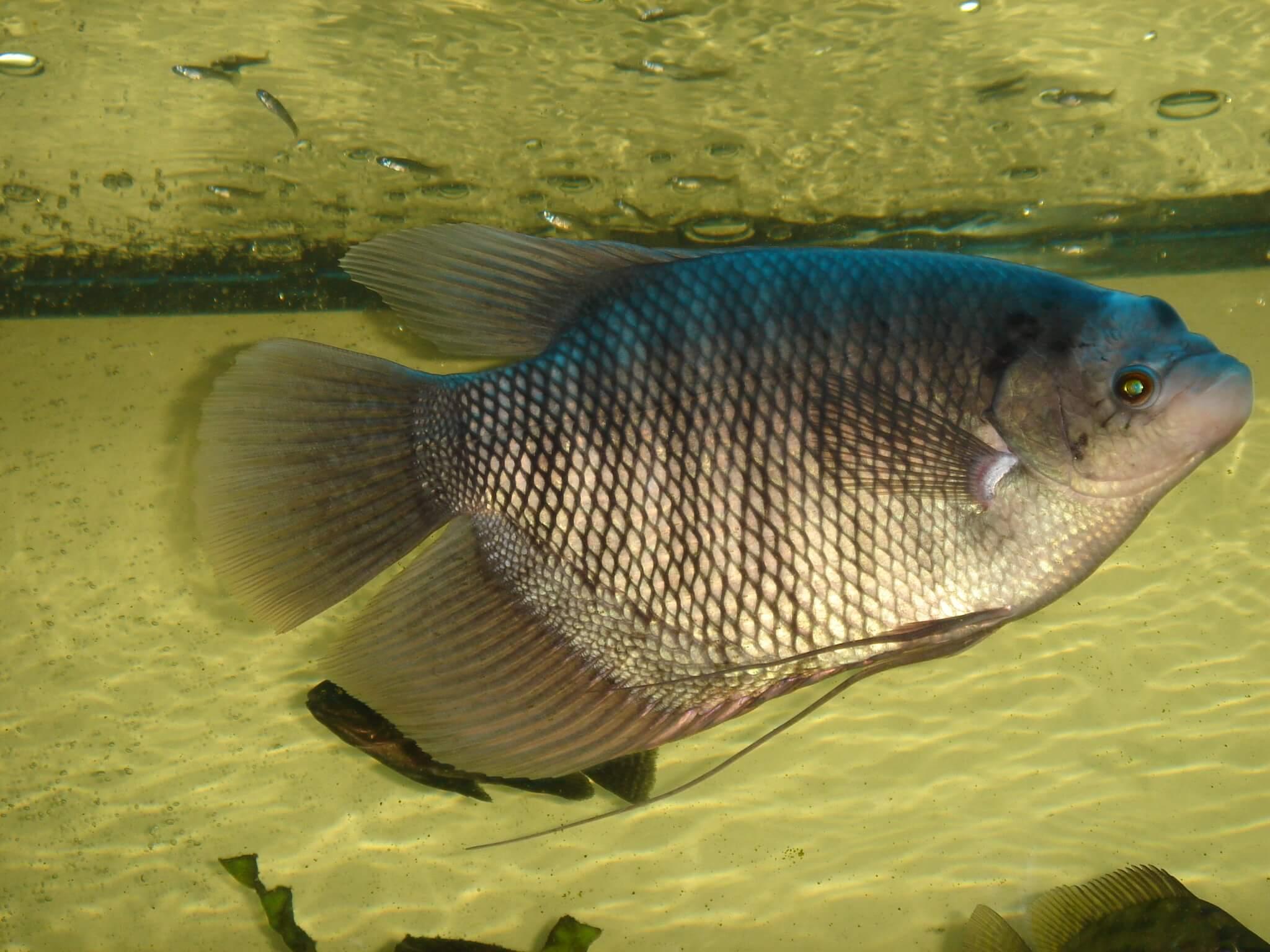 cara budidaya ikan gurami di kolam terpal