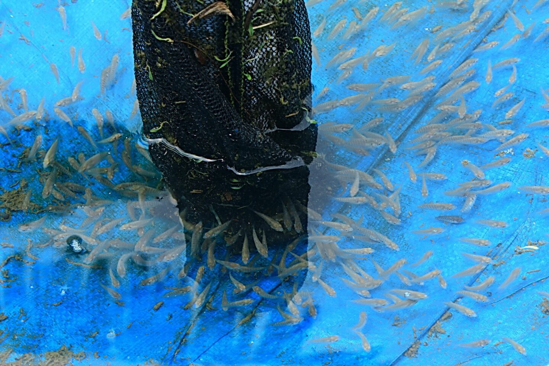 cara budidaya ikan tawar di kolam terpal