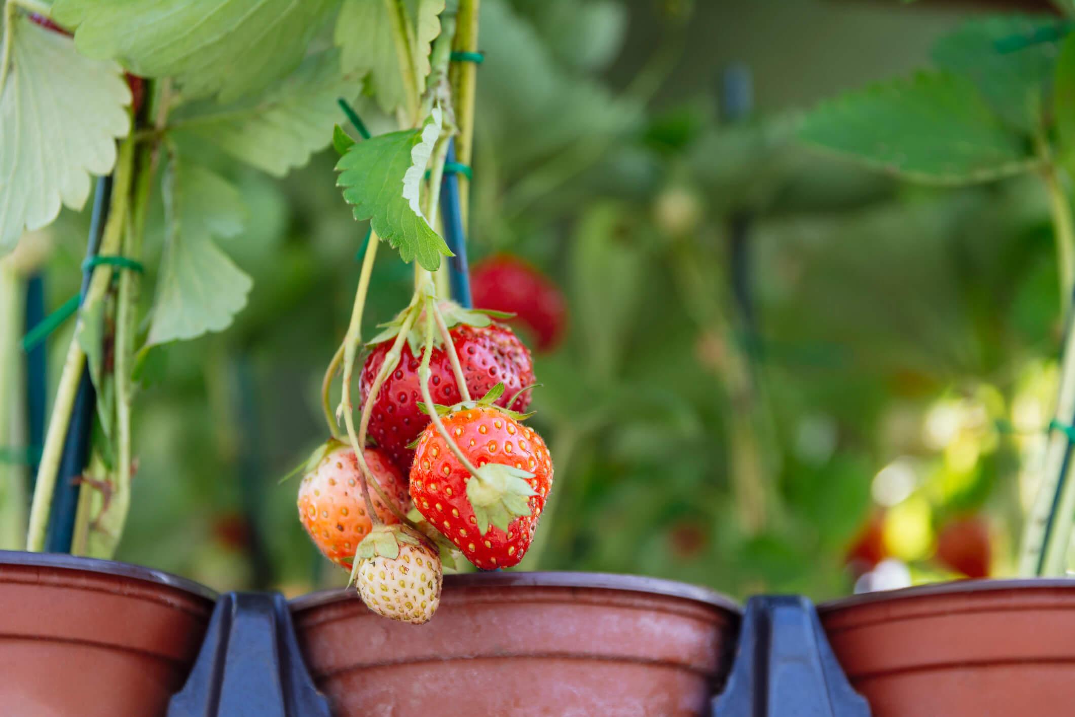 cara menanam buah strawberry di rumah dengan mudah